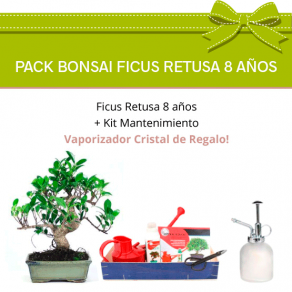 Pack Bonsai Ficus Retusa 8 años