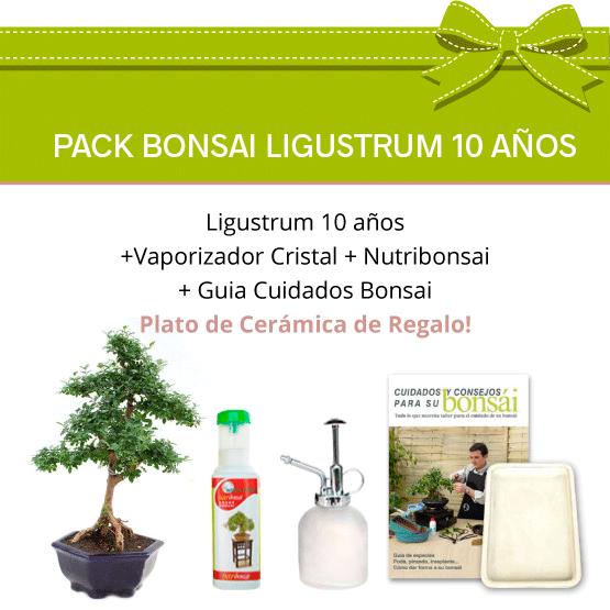 Pack Bonsái Ligustrum 10 años