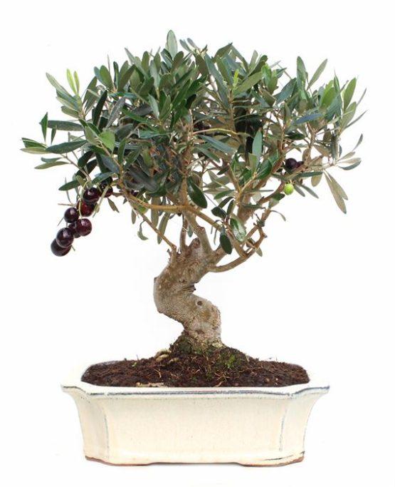 bonsai 12 años Olea Europaea