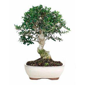 Bonsái 10 años Olea Europaea Sylvestris
