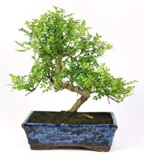 Bonsai 10 anos Zanthoxylum piperitum