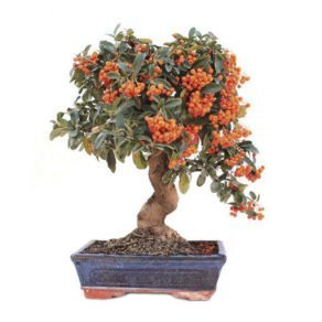 Comprar bonsai pyracantha centro bonsai online for Comprare bonsai online