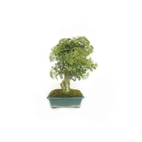Bonsai-13-anos-Pyracantha-sp.-ZP-E