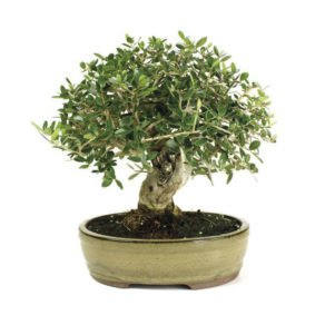 Bonsai-14-anos-Olea-europaea-sylvestris
