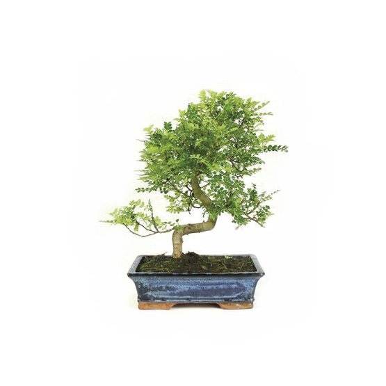Bonsai-16-anos-Zanthoxylum-piperitum