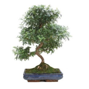 Bonsai-23-anos-Zanthoxylum-piperitum