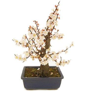 Bonsai Prunus Yabai