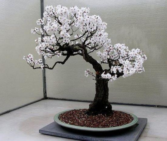 bonsái cerezo japonés