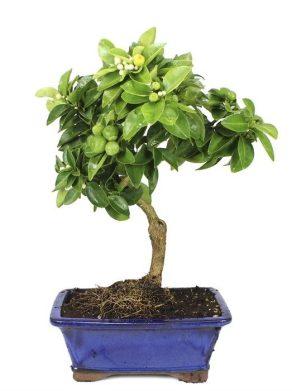 Bonsai 10 años Limequat