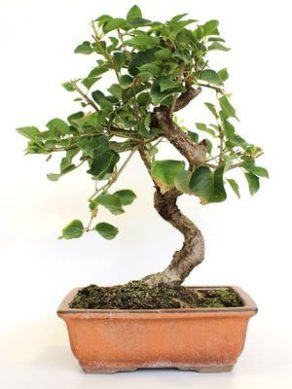 Bonsai 10 años Prunus mahaleb