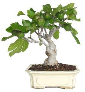Bonsai 13 años Ficus Carica