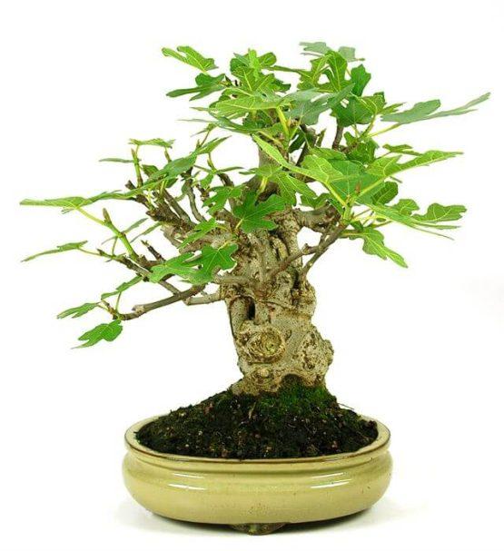 Bonsai 15 años Ficus Carica