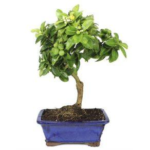 Limonero Bonsai 8 años Limequat