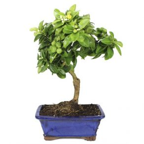 Bonsai 9 años Limequat Bonsai Limonero