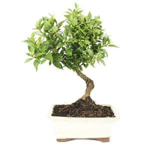 Bonsai 10 años Citrus myrtifolia ZP-E