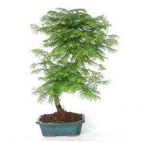 bonsai 12 años metasequoia
