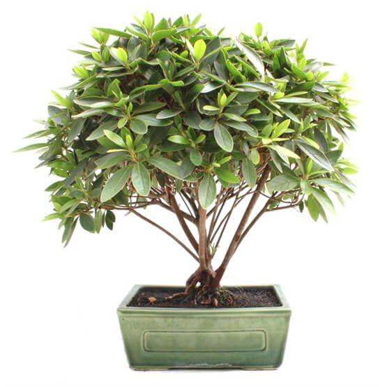Bonsai 13 años Rhododendron indicum