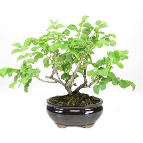 Bonsai 7 años Rosal sp