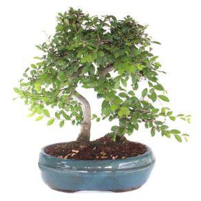 Bonsai 12 años Zelkova Parvifolia Olmo Chino