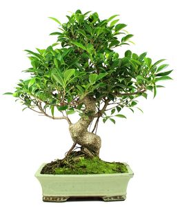 Bonsai 17 años Ficus Retusa