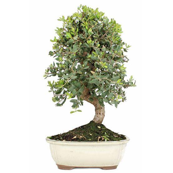 bonsai 12 anos quercus suber