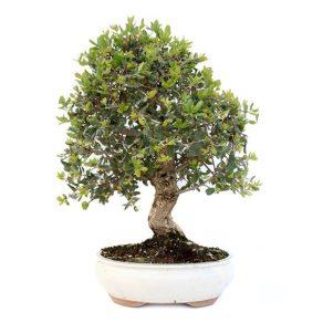 Bonsai 20 años Quercus Suber