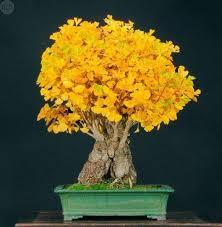 comprar bonsai ginkgo biloba