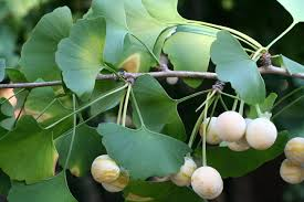 frutos ginkgo biloba