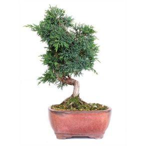 Bonsái 12 años Juniperus chinensis