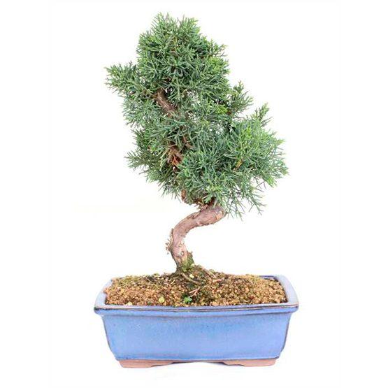 Bonsái 15 años Juniperus chinensis sp