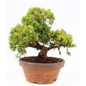 Bonsái 23 años Juniperus chinensis