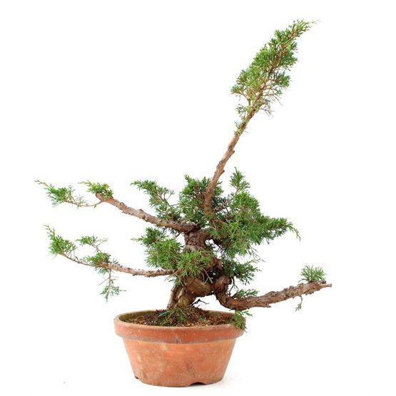 Bonsái 24 años Juniperus chinensis itoigawa