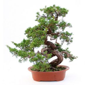 Bonsái 52 años Juniperus chinensis