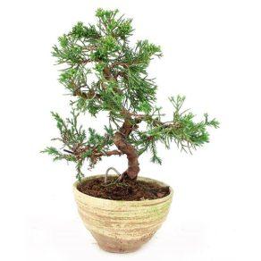 Bonsái con 13 años Juniperus chinensis