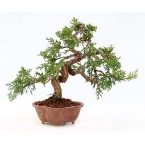 Bonsái de 20 años Juniperus chinensis