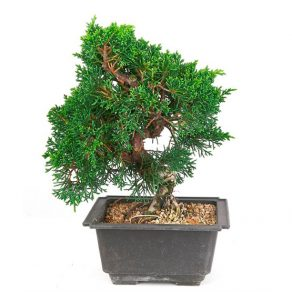 Bonsai 13 años Juniperus chinensis