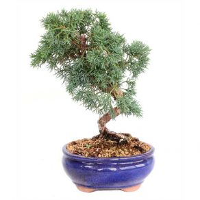 Bonsai 14 años Juniperus chinensis