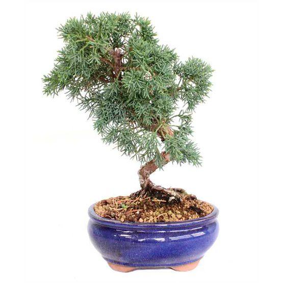 Bonsai 14 años Juniperus chinensis