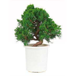 Bonsai 15 años Juniperus chinensis