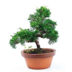 Bonsai de 18 años Juniperus chinensis