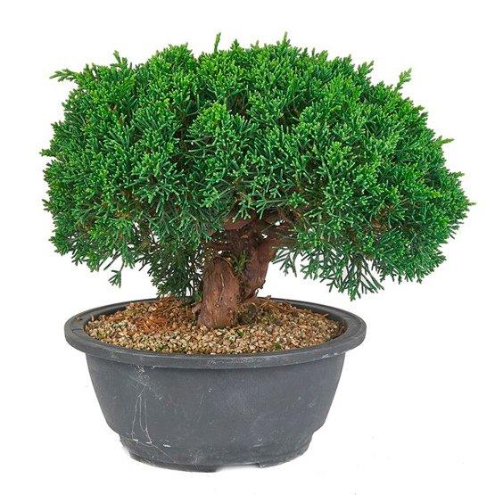 Bonsai 19 años Juniperus chinensis itoigawa