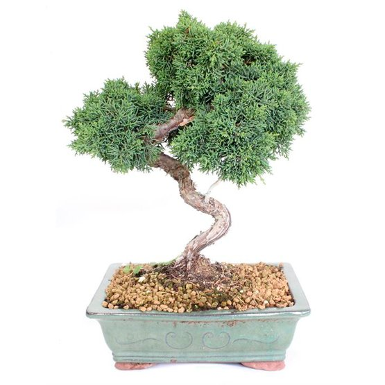 Bonsai 19 años Juniperus chinensis sp