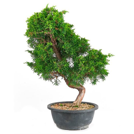 Bonsai 19 años Juniperus sp