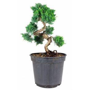 Bonsai 20 años Juniperus chinensis etiqueta negra