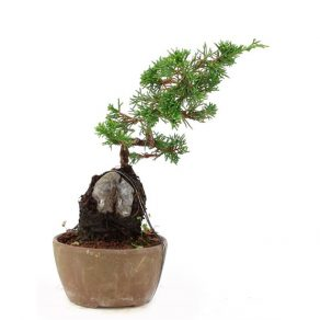 Bonsai con 16 años Juniperus chinensis