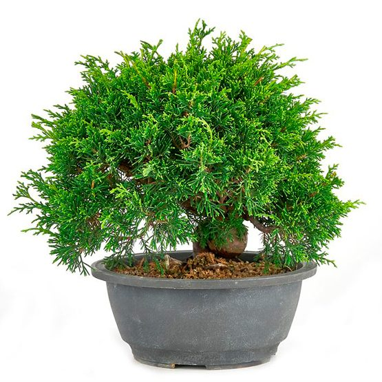 Bonsai con 19 años Juniperus chinensis