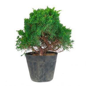 Bonsai 16 años Juniperus chinensis