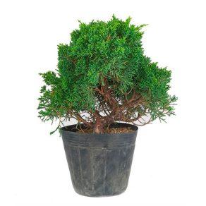 Bonsai 16 años Juniperus chinensis