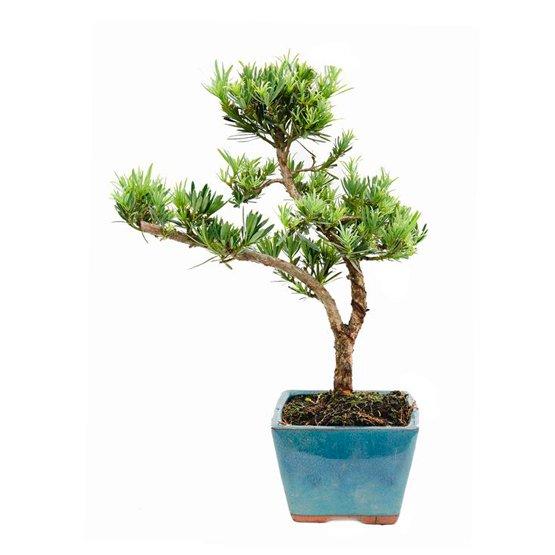 Bonsái 12 años Podocarpus sp.