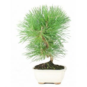 Bonsái 7 años Pinus thunbergii